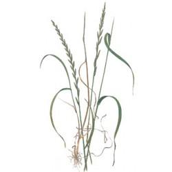 Cesped Ray-Grass inglés 5kg