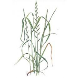 RAY GRASS ITALIANO ANSYL TETRAPLOIDE 5kg